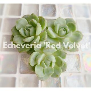 多肉植物 エケベリア *  レッドベルベット 2苗セット *(その他)