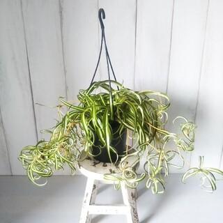 ②オリヅルラン*ボニー❗️人気の観葉植物❗️子株いっぱい!カールの葉が可愛い❗️(プランター)