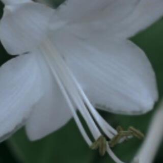 白のホスター(ギボウシ)(その他)