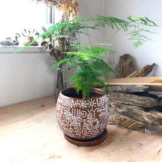 アスパラガス プルモーサス ナナス 鉢入り 受け皿付き(プランター)