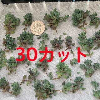 パープルヘイズ 多肉植物 セダム(その他)