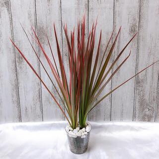 ドラセナ レインボー 観葉植物 ハイドロカルチャー(プランター)