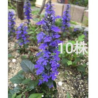 アジュガ 苗 10株 紫 濃紫(その他)