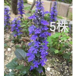アジュガ 苗 5株 紫 濃紫(その他)