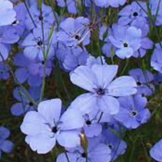 花の種 ビスカリア ブルーエンジェル 種子(その他)