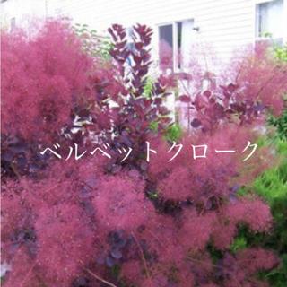 スモークツリー 苗 ベルベットクローク 希少品種 苗木(ドライフラワー)