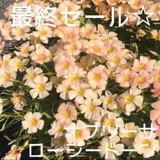 ☆残わずか☆値下げ☆オキザリス オブツーサ Rosydown 球根 8個(プランター)