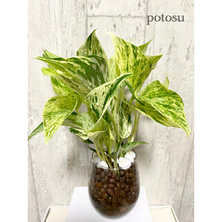 ポトス マーブルクィーン 観葉植物 ハイドロカルチャー 大きめ(ドライフラワー)