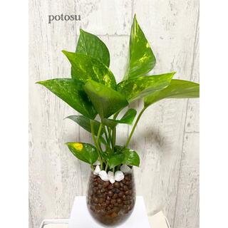 ポトス ゴールデン 観葉植物 ハイドロカルチャー(ドライフラワー)