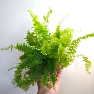 ネフロレピシス ネフロレピス ツデー シダ植物 ポット苗発送(プランター)