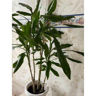 植物/観葉植物(プランター)