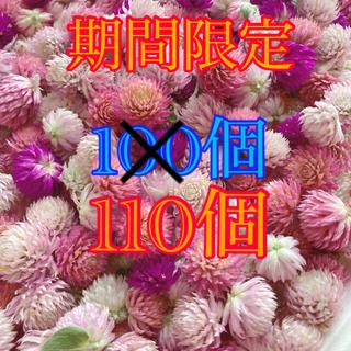 千日紅 ドライフラワー ピンク 紫 110個(ドライフラワー)