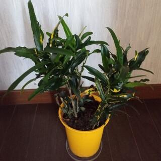 観葉植物 黄ラセンクロトン 3苗(プランター)