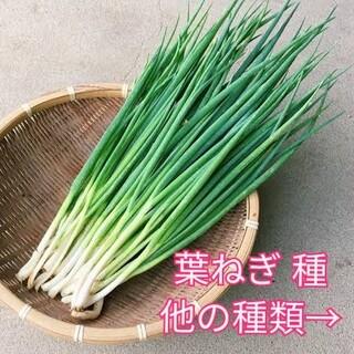 野菜種☆葉ねぎ☆変更→エゴマ ほうれん草 小松菜 芽キャベツ カラフル人参(野菜)