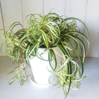 オリヅルラン*ボニー❗️高級セラアート鉢❗️人気の観葉植物❗️子株いっぱい!(プランター)