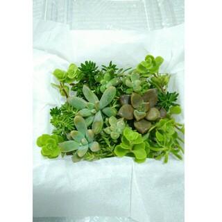 1パック300円【送料無料】多肉植物 カット苗 セダム 寄せ植えにも(プランター)