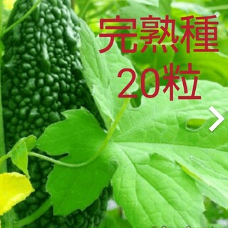 2021年の種 20粒 ゴーヤ あばしゴーヤ 苦瓜 ツルレイシ 中長(その他)