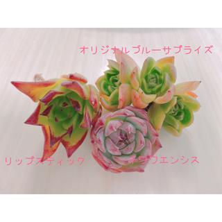 多肉植物☆韓国苗セット☆(その他)