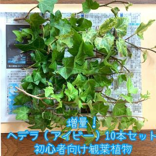 増量!ヘデラ/アイビー10本セット*初心者向け観葉植物*ネコポス*(野菜)