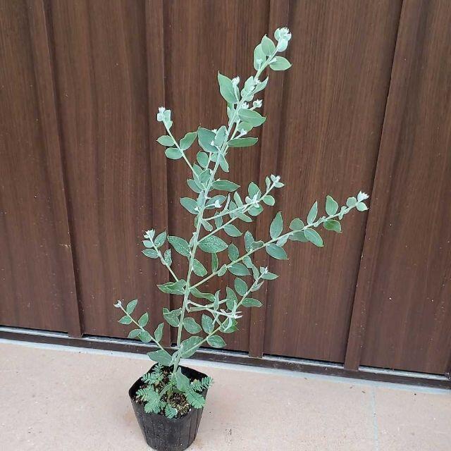 シルバーグリーンの葉が可愛い♡パールアカシア ポット苗5 シンボルツリー♪ ハンドメイドのフラワー/ガーデン(プランター)の商品写真