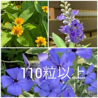 紫ハーブの木ブルーチェスト メランポジウム ブルーエンジェルの種(その他)