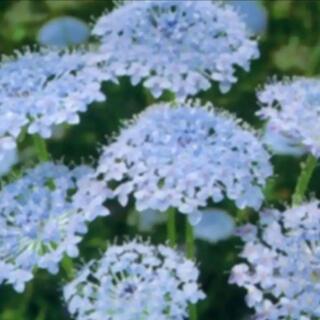 花の種  ディディスカス  ブルーレースフラワー 種子(その他)
