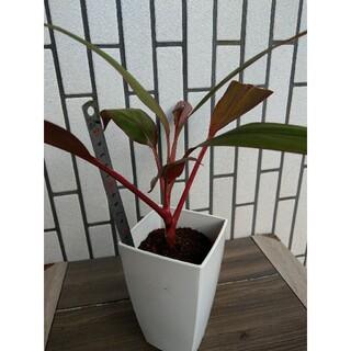 観葉植物 幸福の木 ドラセナ(その他)