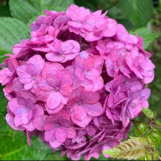 初根済みピンクパープルの可愛い紫陽花挿木挿し木苗お花ガーデンかガーデニング(その他)