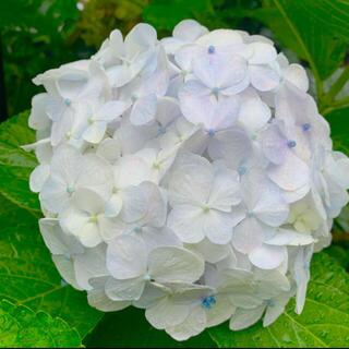 発根済み紫陽花白水色色変わりお花挿木挿し苗(プランター)