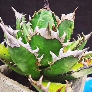 多肉植物 アガベ チタノタ レッドキャットウィーズル 17cm 稀少株 極上株(その他)