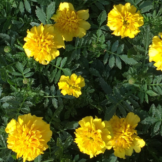 マリーゴールドの花色(黄色、オレンジ)ミックスの種100粒(その他)
