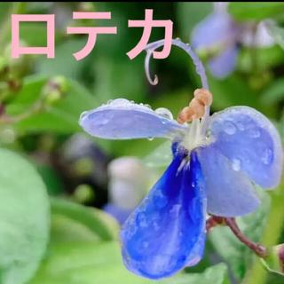 お値下げ後 ①   ロテカ ブルーウイング 大苗(プランター)