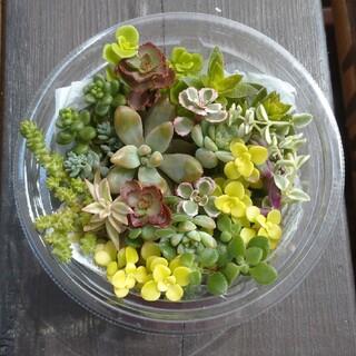 セダム多肉植物カット苗(カップ)(その他)