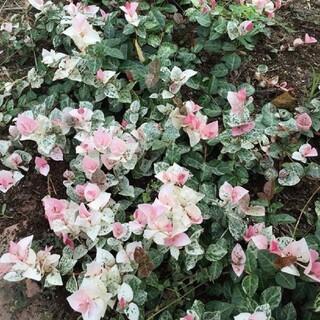 葉が美しい☆ハツユキカズラ挿し穂10本+おまけ(プランター)
