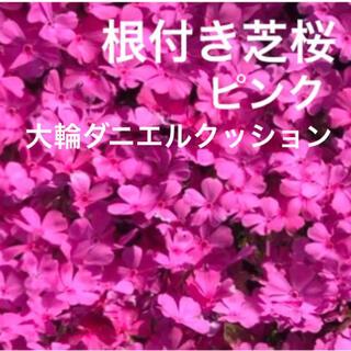 ☆芝桜☆シッカリ根付き苗☆初心者向け☆ピンク☆大輪ダニエルクッション☆(プランター)