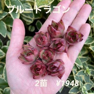 【再入荷】エケベリア 青龍 ブルードラゴン 小苗 2苗セット 多肉植物 韓国苗(その他)