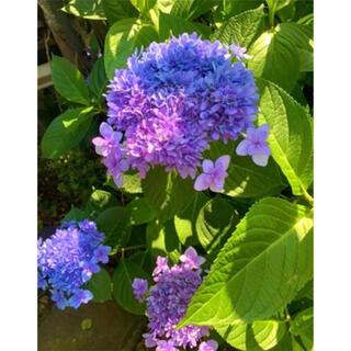 発根済み紫陽花グラデーションパープルブルーピンク紫お花挿木挿し苗(その他)