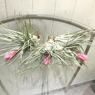 花芽付き♪ Tillandsia チランジア コットンキャンディパープル 3株(プランター)