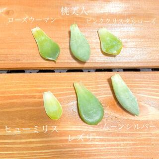 * 多肉植物 葉挿し6種セット *  ピンククリスタルローズ入り♡(その他)