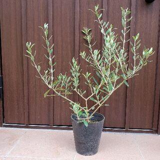 大きめ♪オリーブの木 ネバディロブランコ 鉢植え22 観葉植物 苗 苗木(プランター)