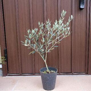 大きな大きな♪オリーブの木 マンザニロ 鉢植え22 観葉植物 シンボルツリー♪苗(プランター)