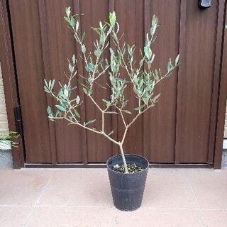 大きめ♪オリーブの木 ルッカ22  鉢植え 観葉植物 シンボルツリー♪ 苗(プランター)