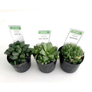 多肉植物 ハオルチア3種セット 2.5号ポット インテリアグリーン 送料無料!(その他)
