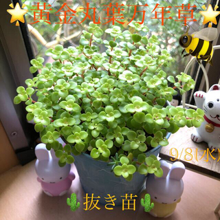 多肉植物❤︎黄金丸葉万年草❤︎抜き苗❤︎鉢の中身全部おまけ付き🌵(その他)
