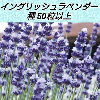 イングリッシュラベンダー ヒドコート種50粒以上(その他)