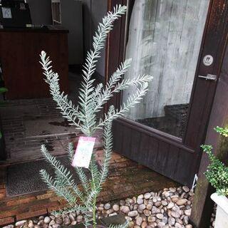 アカシア・ブルーブッシュ 120cm(その他)