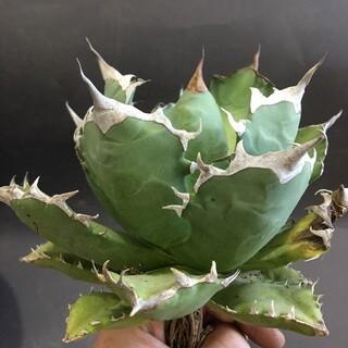多肉植物 アガベ チタノタ  姫厳竜  16cm 短い葉 強い白刺し 極美株(その他)