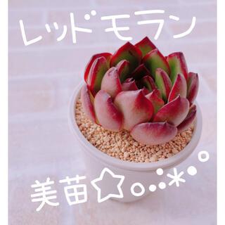 《3》多肉植物 エケベリア 韓国苗 レッドモラン 美苗♡♡(その他)