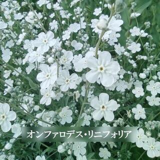 秋まき 花の種 オンファロデス・リニフォニア 50粒 一年草(その他)