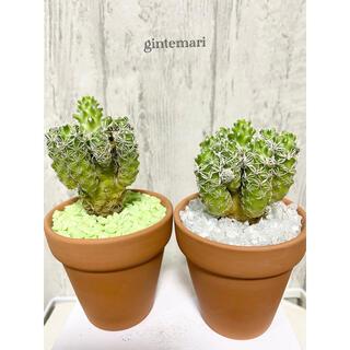 ギンテマリ 銀手毬 多肉植物(ドライフラワー)